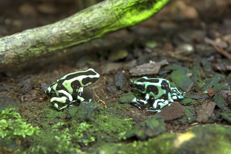 animals amphibious: Tropical Frogs