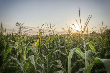 tarsus: Campi di grano, Tarsus, Turchia