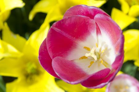 tulipan: Bliska strzał z tulipanów