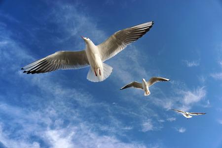 gaviota: Tres gaviotas que vuelan