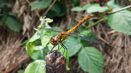 forewing: Anisoptera (Dragonfly)