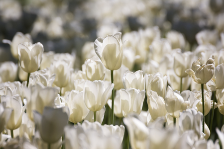 perianth: Groups Of Tulips
