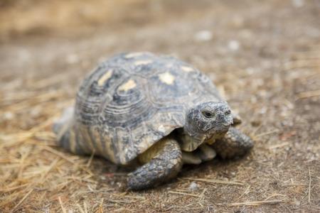 animalia: Spur-thighed Tortoise Stock Photo