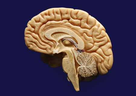 Plastic Model Of A Human Brain Isolated On Blue Background