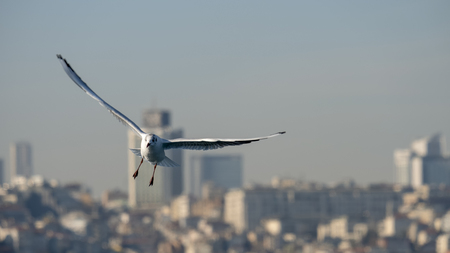 Flying Seagull With Istanbul Cityscape Background