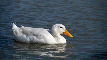 White Duck Swimming In Water Banco de Imagens