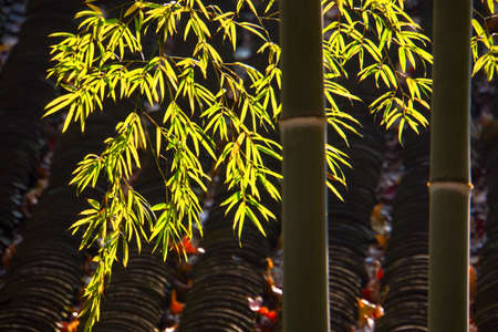 the backlighting: Backlighting shoot of bamboo leaves. Stock Photo