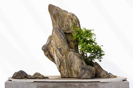 Chinese-style bonsai