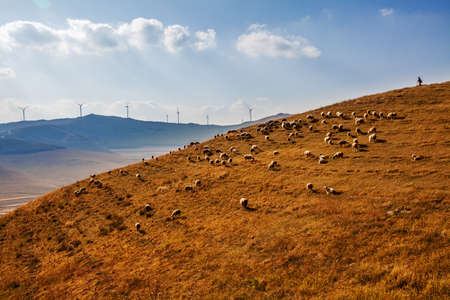 Flock of sheep grazing on a hillside in autumn.