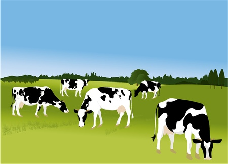 dairy cattle: Cows  Illustration