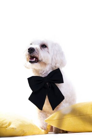 White bichon on isolated white background and several decorations. High resolution studio image. Stock Photo