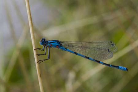 erythemis: dragonfly