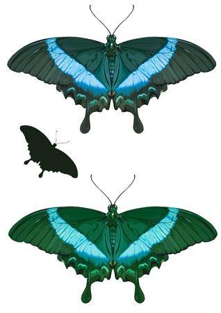 papilio: PAPILIO PALINURUS