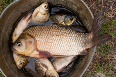 small and large carp in a bucket photo