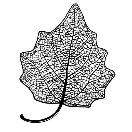 lombardy: Vector skeletonized leaf of a Lombardy poplar on a white background. The graphic element may be used as a design background, business cards, postcards, etc.