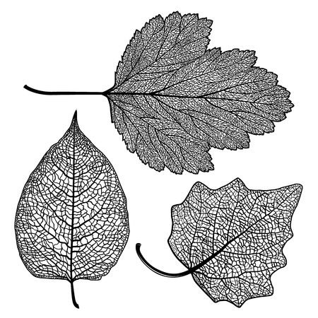 Vector set of skeletonized leaves of a hawthorn on a white background. The graphic element may be used as a design background, business cards, postcards, etc. Иллюстрация