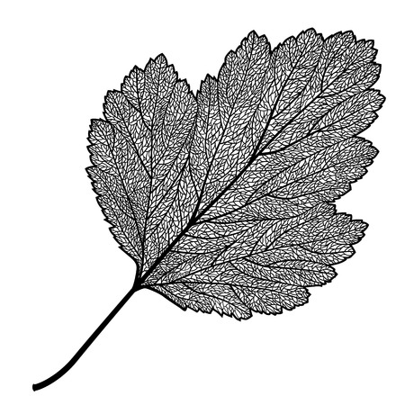 Vector skeletonized leaf of a hawthorn on a white background. The graphic element may be used as a design background, business cards, postcards, etc.