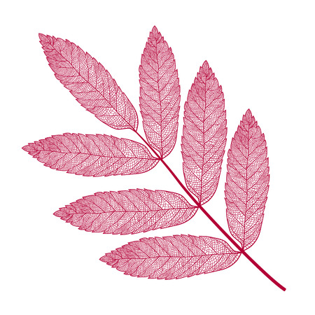 Vector skeletonized rowan leaf on a white background. The graphic element may be used as a design background, business cards, postcards, etc.