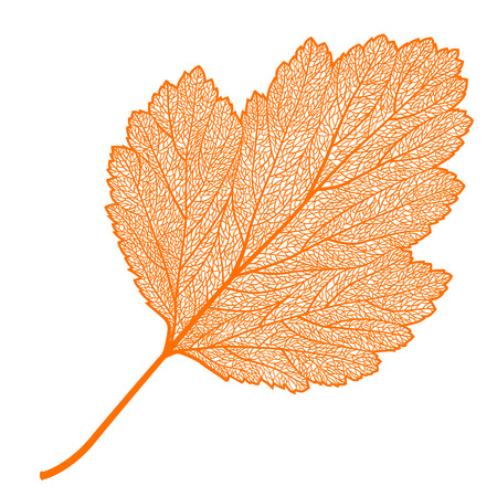 frondage: Vector skeletonized leaf of a hawthorn on a white background. The graphic element may be used as a design background, business cards, postcards, etc.