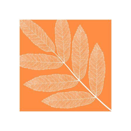 skeletonized rowan leaf