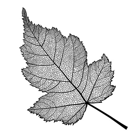 Vector skeletonized leaf of a bush on a white background. This leaf of Stephanandra may be used as a design element for business cards, postcards, banners etc. Фото со стока - 124506876