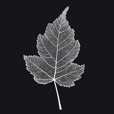 Vector skeletonized leaf of a bush on a black background. This leaf of Stephanandra may be used as a design element for business cards, postcards, banners etc.