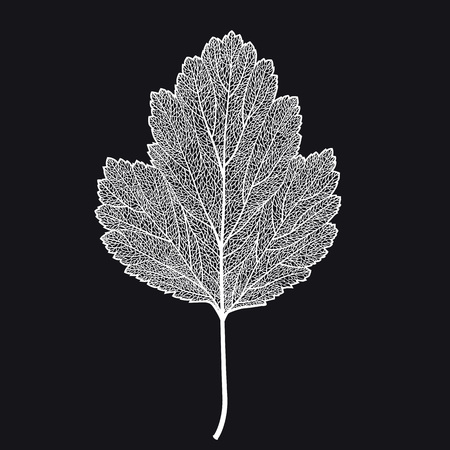 Vector skeletonized leaf of a hawthorn on a black background. The graphic element may be used as a design background, business cards, postcards, etc.
