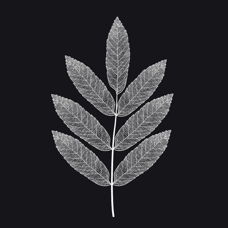 Vector skeletonized rowan leaf on a black background. The graphic element may be used as a design background, business cards, postcards, etc.