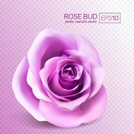 Realistic vector rose on transparent background. 3d bud of a pink rose. 向量圖像