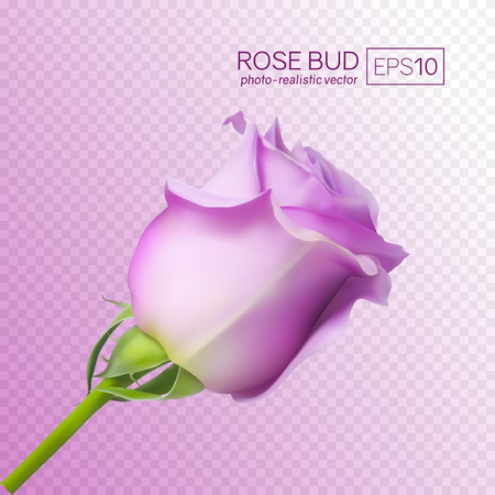 Realistic vector rose on transparent background. 3d bud of a pink rose. Ilustrace