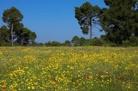 Grass field, yellow flowers and pines Stock Photo - 429174