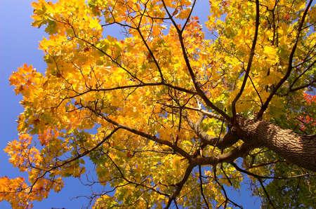 Autumn gold maple tree photo