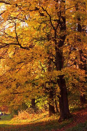 Onange autumn tree in Arkhangelskoe, Russia, 2006 Stock Photo - 614952