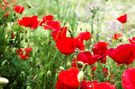 Red poppies and grass, Greece Stock Photo - 773163