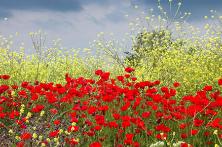 Red poppies and yellow flowers, Greece Stock Photo - 773160
