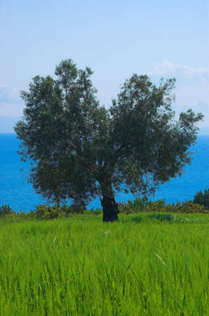 Alone olive tree in the field Stock Photo - 773149