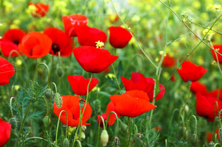 Red poppies and yellow flowers near the sea, Greece Stock Photo - 792982