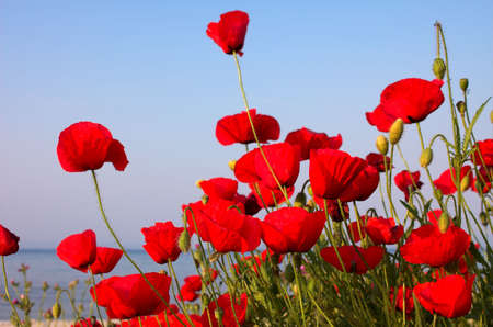 Red poppies and blue sky and sea, Greece Stock Photo - 792981