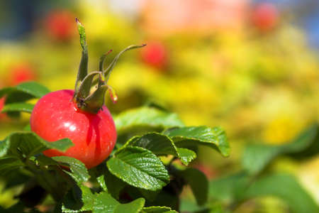 curative: closeup view berries and leaves of wild dog rose   Stock Photo