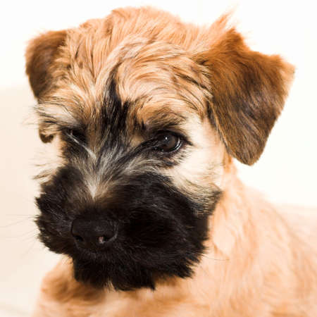 coated: Rivestiti morbidi irlandesi wheaten il piccolo puppy marrone pi� terrier