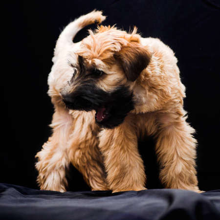 Irish soft coated wheaten terrier on black photo