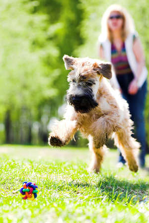 spring training: Running dog on green grass and ball (Irish soft coated wheaten terrier) Stock Photo