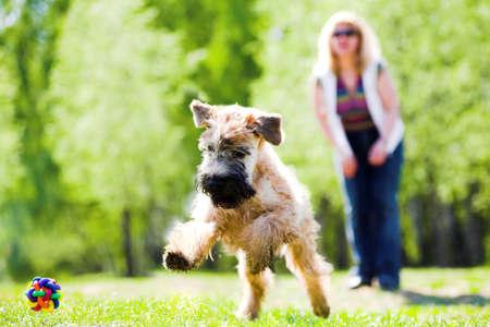 obedience: Atletismo perro verde sobre el c�sped y bal�n (ga�lico suave recubiertos wheaten terrier)