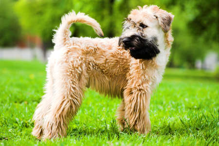 Irish soft coated wheaten terrier stay on grass Stock Photo