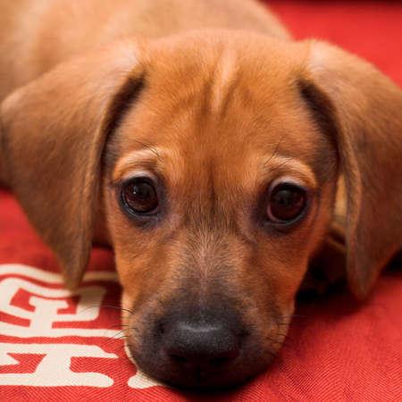 Dachshund puppy lay on red sofa photo