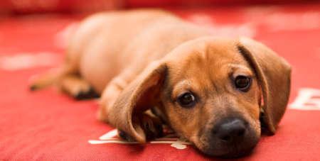 doxie: Dachshund puppy lay on red sofa