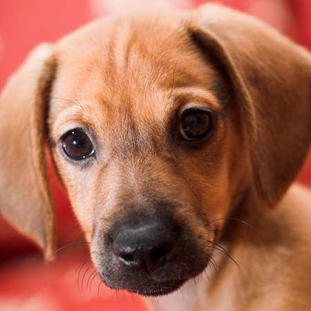 Dachshund puppy portrait photo