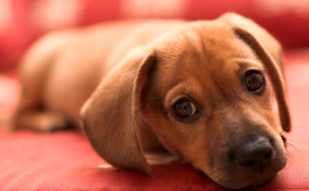 red sofa: Dachshund puppy lay on red sofa