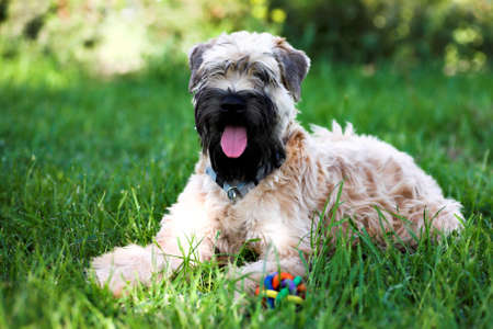 coated: Irlandese morbido rivestita wheaten terrier laici su prato