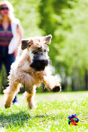 Running dog on grass catch ball (Irish soft coated wheaten terrier) Stock Photo